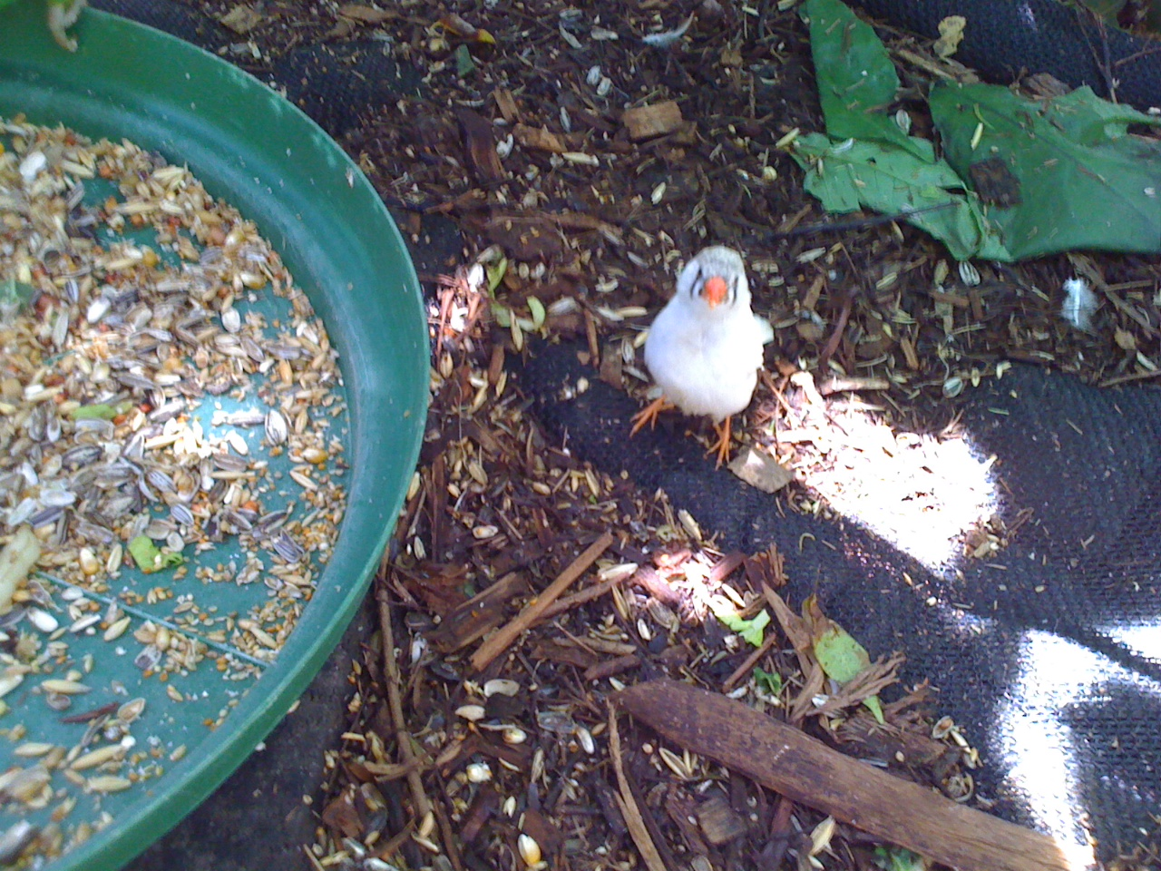 An albino zebra finch.