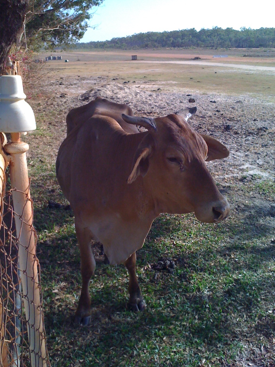Brahmin cow near the runway at Musgrave Roadhouse, Cape York peninsula, Queensland, Australia