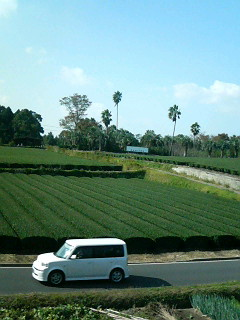 Tea farms and palm trees near Kagoshima Airport