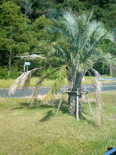 Another palm tree on the side of the road in southern Kyushu