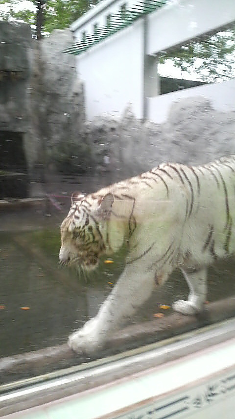 One of the two white tigers prowls behinds the glass wall of its enclosure.